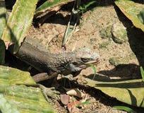 Green Iguana of St Thomas Royalty Free Stock Photography