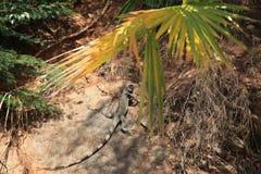 Green Iguana of St Thomas Royalty Free Stock Image