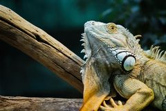 Green iguana standing on a branch Royalty Free Stock Images