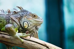 Green iguana standing on a branch Stock Images