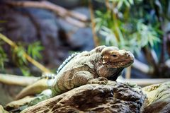 Green iguana standing on a branch Stock Image