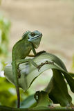 Green Iguana Stare. Green iguana staring, top right corner empty space is meant for text or wordings, suitable for advertisement usage Royalty Free Stock Photography