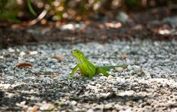Green Iguana in the sun. A Green Iguana catching some rays of sunshine  in Key West in the Florida Keys Royalty Free Stock Images