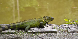 Green Iguana Sunbathing. The green iguana is a large, arboreal, mostly herbivorous species of lizard of the genus Iguana native to Central, South America, and Royalty Free Stock Photos