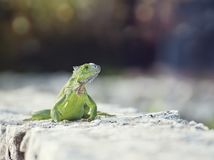 Green Iguana,front view. Green Iguana sunning on a stone wall Royalty Free Stock Image