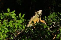 Green iguana sunning in a tree Stock Photos