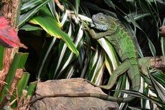 Green iguana royalty free stock image