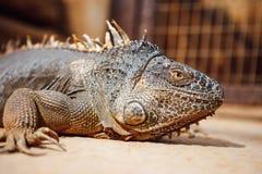 Green iguana, Tenerife, Spain. Closeup view Royalty Free Stock Photo