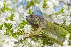 a green iguana Royalty Free Stock Photo