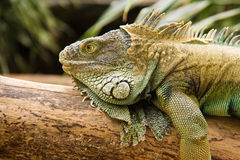 A green iguana. Stock Images