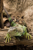 A green iguana. Stock Photo