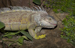 Green iguana tongue out Stock Photography