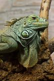 Green iguana on top of the tree Royalty Free Stock Images