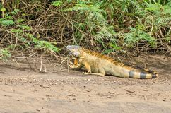 Green iguana  in Tortuguero National Park, Costa Rica. Bright colored male green iguana Iguana iguana or the American iguana, staying on the ground for greater stock photo