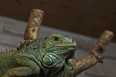 Green iguana on the tree Stock Photos