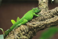 Green iguana. The green iguana on the tree stock photography
