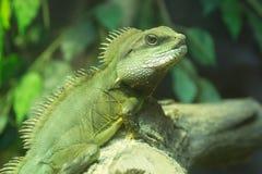 Green Iguana on the tree Royalty Free Stock Photos
