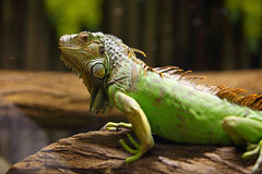 Green iguana on tree branch Stock Image
