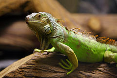 Green iguana on tree branch Stock Photography