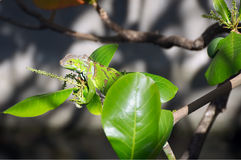 Green iguana on tree branch. Martinique tropical island Royalty Free Stock Photo