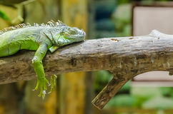Green Iguana On A Tree Branch Stock Photo