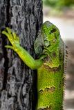 Green iguana on a tree royalty free stock photos