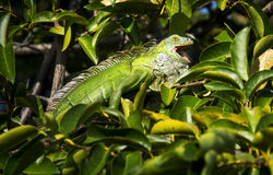 Green iguana in tree Stock Image