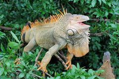 Green iguana in a tree with open beak - large lizard - central America – Costa Rica Stock Photos