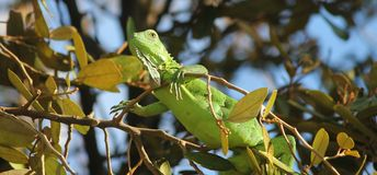 Green Iguana in the tree. A green Iguana sitting high in the tree royalty free stock photo