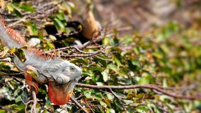 Green Iguana in tree Royalty Free Stock Images