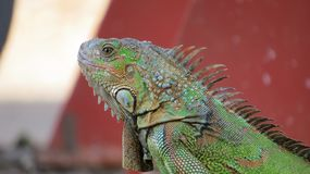 The green iguana in Tropic stock photography