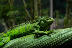 Green iguana. With tropical background Royalty Free Stock Photography