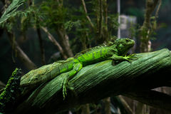 Green iguana. With tropical background Royalty Free Stock Image