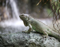 Green iguana in a tropical forest near pond Stock Photography