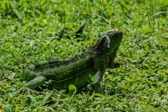 Green Iguana Walks Through Green Grass royalty free stock images