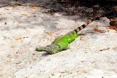 Green iguana walking Stock Photos