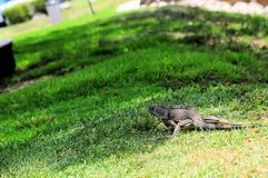 Green iguana walking Royalty Free Stock Photography