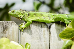 Green iguana on wall Stock Photography
