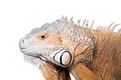 Green Iguana on white Stock Image