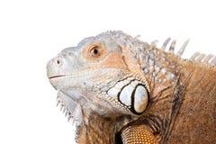 Green Iguana on white Stock Photos