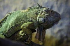 Green iguana Iguana iguana stock photo