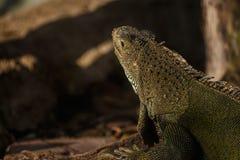 Green iguana Stock Photography