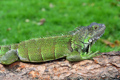 Green IguanaIguana iguana. In the Seminario Park also known as Bolivar Park or Parque de las Iguanas is a urban park located in the center of Guayaquil,Ecuador royalty free stock photography
