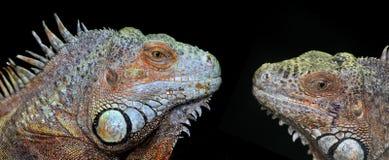 Green iguanas Stock Photos