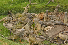 Green Iguanas in a city park Stock Images
