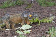 Green Iguanas fouraging over mango and lettuce. Green Iguanas fouraging over a meal of mango and lettuce Royalty Free Stock Images
