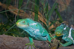 Green iguanas lizards  Royalty Free Stock Images