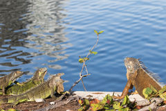 Green Iguanas showing territorial behavior. In the morning sun Royalty Free Stock Images