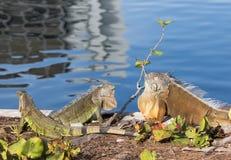 Green Iguanas showing territorial behavior. In the morning sun Stock Photo