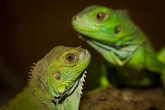 Green iguanas Royalty Free Stock Photos